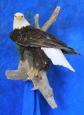 Eagle- Bald 21