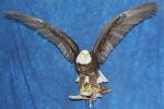 Eagle- Bald 22