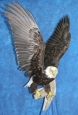 Eagle- Bald 18