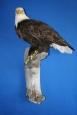 Eagle- Bald 10