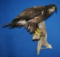 Eagle- Bald 11