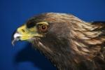 Eagle- Bald 12