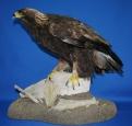 Eagle- Bald 13