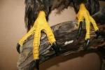 Eagle- Bald 15
