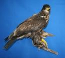 Eagle- Bald 16
