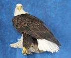 Eagle- Bald 17