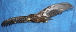 Eagle- Bald 19