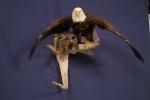 Eagle- Bald 02