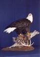 Eagle- Bald 05