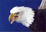 Eagle- Bald 06