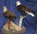 Eagle- Bald 07