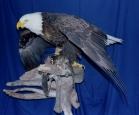 Eagle- Bald 08