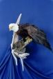 Eagle- Bald 09