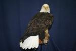 Eagle- Bald 01