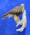 Hawk- Rough Legged 08
