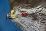 Hawk- Goshawk 06