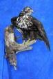 Hawk- Red Tail- Dark Morph- 16