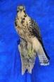 Hawk- Swainsons 16
