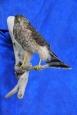 Hawk- Sharp Shinned 09