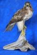 Hawk- Red Tail 17