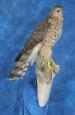 Hawk- Sharp Shinned 06