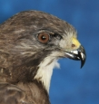 Hawk- Swainsons 09