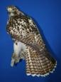 Hawk- Red Tail 05