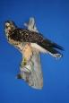 Hawk- Swainsons 06