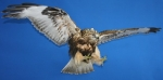 Hawk- Rough Legged 04
