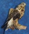 Hawk- Rough Legged 06