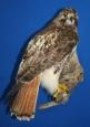 Hawk- Red Tail 07