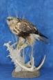 Hawk- Rough Legged 07