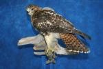 Hawk- Red Tail 10