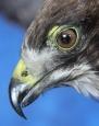 Hawk- Swainsons 13