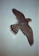 Falcon- Merlin 01