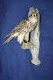 Falcon- Merlin 02