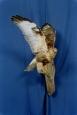 Hawk- Rough Legged 02