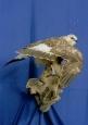 Hawk- Rough Legged 03
