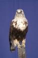 Hawk- Rough Legged 01