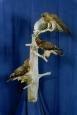 Hawk- Swainsons 01