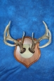Whitetail antler plaque mount- $95 + GST