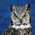 Owl- Great Horned 20