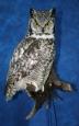 Owl- Great Horned 21