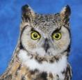 Owl- Great Horned 23