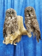 Owl- Great Grey 21