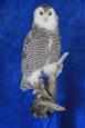 Owl- Snowy 20