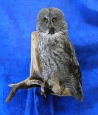 Owl- Great Grey 23