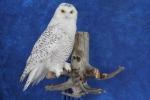 Owl- Snowy 12