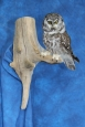 Owl- Boreal 01