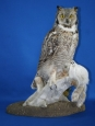 Owl- Great Horned 11